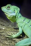 Colorful green basilisk lizard Royalty Free Stock Image