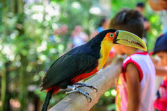 The colorful green-billed toucan sitting on the wood in Iguacu National Park on the background of blurry kids Stock Photo