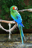Colorful green blue Parrot Royalty Free Stock Photography