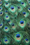 Peacock Feather Pattern royalty free stock photography