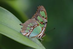 Colorful green and brown Butterfly on a leaf. Colorful green and brown spotted butterfly on a leaf nature royalty free stock image