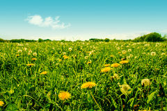 Colorful green dandelion field with many flowers Stock Images