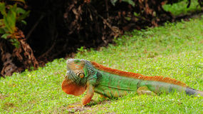 Colorful Green Iguana Royalty Free Stock Photos