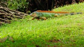 Colorful green iguana stock photography