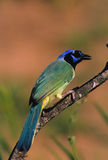 Colorful Green Jay Stock Photos