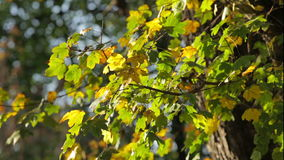 Colorful green leaves on tree branch. Wind blows softly. Shallow field of view stock footage