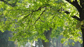 Colorful green leaves on tree branch. Wind blows softly, smooth pan. Shallow field of view stock footage