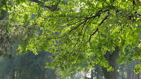 Colorful green leaves on tree branch. Wind blows softly, smooth pan. Shallow field of view stock video footage