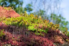 Colorful green living extensive sod roof detail covered with vegetation mostly tasteless stonecrop, sunny day. Colorful green living extensive sod roof detail royalty free stock photography