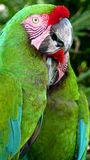 Colorful green macaw Stock Photography