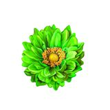 Colorful Green Mona Lisa flower, Spring bloom Stock Photography