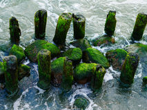 Colorful green moss seaweed on old timber Royalty Free Stock Photo