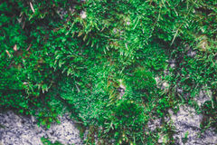 Colorful green moss texture. Photo depicting a bright bushy lich Stock Photos
