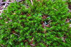 Colorful green moss texture. Photo depicting a bright bushy myst Stock Images
