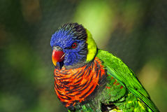 Colorful Green-Naped Lorikeet Bird. A close shot of a very colorful lorikeet Royalty Free Stock Photo