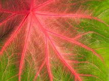 Colorful green and pink leaf Royalty Free Stock Photo