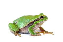 Colorful green tree frog on white background Stock Image