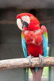 Colorful green winged macaw Stock Images