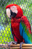 Colorful green winged macaw Royalty Free Stock Image