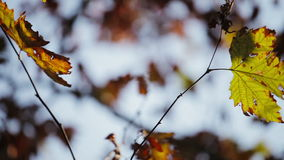 Colorful green and yellow leaves on tree branch. Wind blows softly. Shallow field of view stock video footage