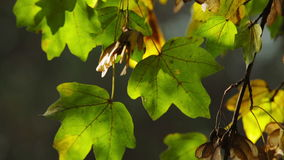Colorful green and yellow leaves on tree branch stock video footage