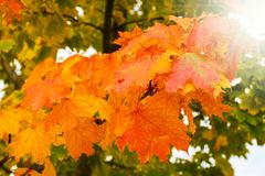 Colorful green, yellow and red autumn tree leaves changing seasonal colors. On a sunny day stock photos