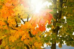 Colorful green, yellow and red autumn tree leaves changing seasonal colors. On a sunny day stock images