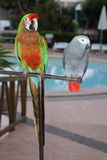 Colorful and grey  parrots Royalty Free Stock Photography