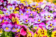 Colorful. Group of colorful flower in the garden Royalty Free Stock Photo