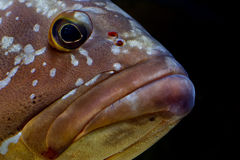 Colorful grouper isolated on black Royalty Free Stock Photos