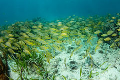 Colorful Grunts Swim on Caribbean Coral Reef. Colorful grunts school together on a shallow coral reef in Belize. This remote, tropical area in the Caribbean Sea Royalty Free Stock Photo