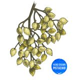 Hand drawn branch of pistachio tree. Stock Image