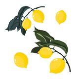 Colorful hand drawn branches of lemons isolated. stock illustration