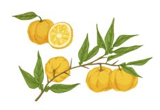 Free Colorful Hand Drawn Yellow Yuzu Citrus Vector Illustration. Fresh Appetizing Asian Fruit On Branch With Leaves Isolated Stock Photos - 185142743