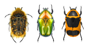 Colorful handsomes - Flower chafers Stock Images