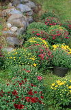 Colorful Hardy Mums in planters. Rows of colorful Hardy Mums in planters, set next to an old stone wall Stock Photos