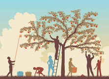 Colorful harvest. Editable vector colorful illustration of a family harvesting apples from a tree Stock Photo