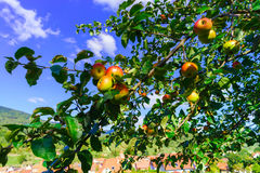 Colorful harvest on apple tree in the garden Royalty Free Stock Images