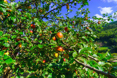 Colorful harvest on apple tree in the garden Royalty Free Stock Image