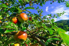 Colorful harvest on apple tree in the garden Stock Photos