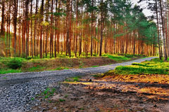 Colorful HDR picture with path in a pine forest at sunset in a tourist area Machuv kraj in czech landscape Royalty Free Stock Images