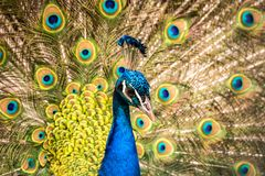 Colorful head of peacock with bright feathers in the background. Wildlife stock photography
