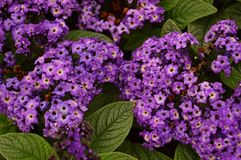 Colorful Heliotrope blossom Royalty Free Stock Images