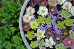 Colorful hellebores flowers in water Royalty Free Stock Images
