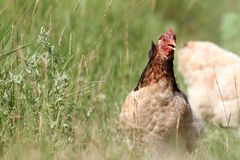 Colorful hen running in the grass Stock Image