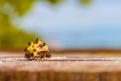 Colorful hermit crab. Climbing on a wooden board in front of ocean Stock Image