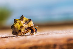 Colorful hermit crab. Climbing on a wooden board in front of ocean Royalty Free Stock Image
