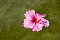 Colorful Hibiscus Flower Floating on Algae Infested Water Royalty Free Stock Photo