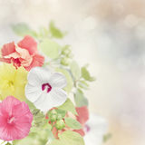 Colorful Hibiscus flowers Royalty Free Stock Image