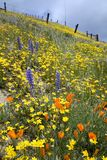 Colorful hill. Slope of the hill covered with colorful spring flowers and the old fence in the background Stock Photos